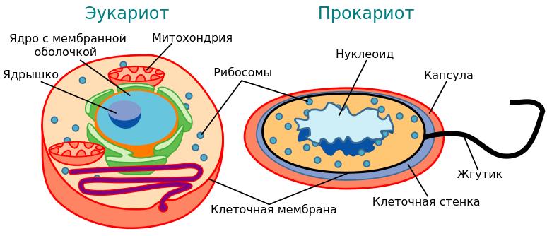 Эволюция эукариот схема