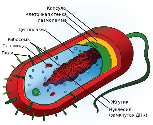 фото прокариотическая клетка