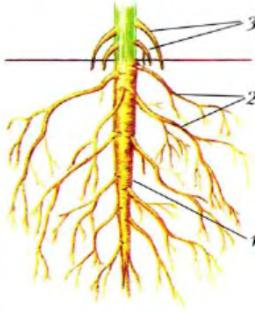 вместе корень