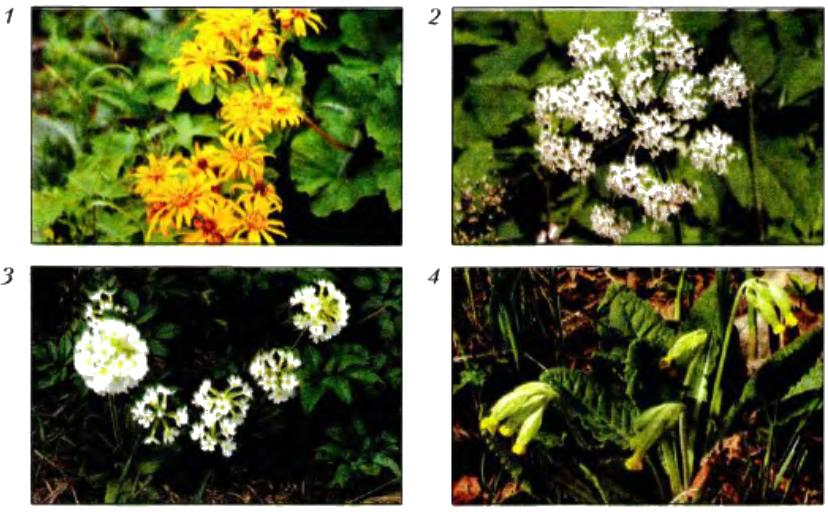 В соцветия обычно объединены мелкие цветки.  Собранные вместе, они... примула белая.  4. 3. 2. 1. и простые.