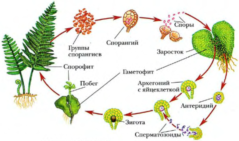Схема развития растений