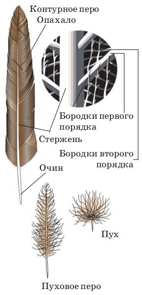 Строение контурного пера и виды перьев птиц.