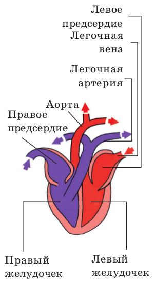 Выделительная система.  Почки у млекопитающих имеют бобовидную форму и располагаются в поясничной области, по бокам...