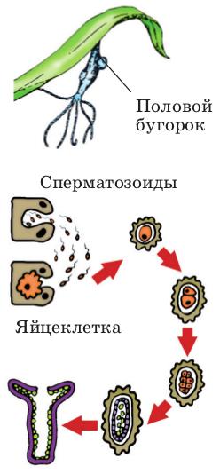 Половые бугорки и схема полового размножения.  Созревшие сперматозоиды выходят в воду и передвигаются в ней при...