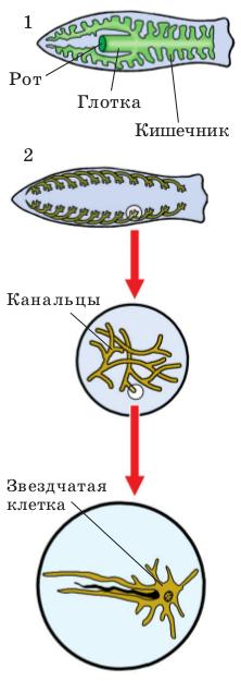Схемы пищеварительной и выделительной систем планарии.