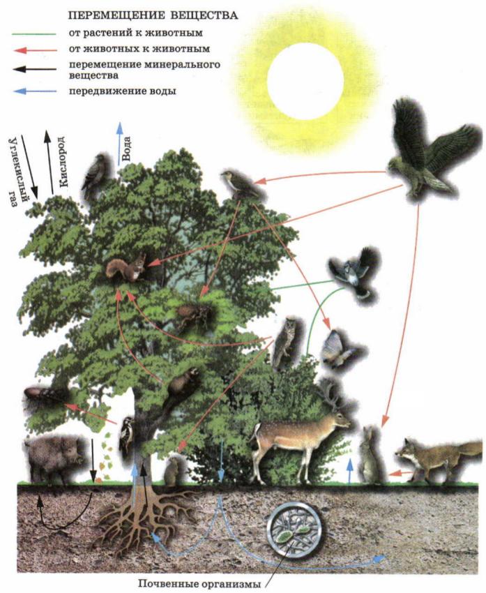Схема биологического круговорота на примере широколиственного леса.