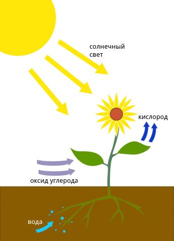 Фотосинтез кратко и понятно