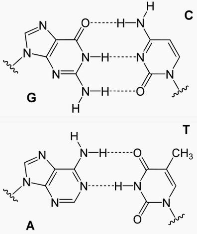 Водородные связи между комплементарными азотистыми основаниями