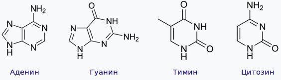 Химическое строение азотистых оснований ДНК