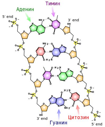 Строение ДНК: фосфатные и водородные связи